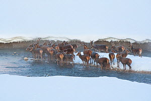 Herd of Red deer (Cervus elaphus) standing in stream on a frosty morning. Central Apennines, Abruzzo, Italy, February.  -  Bruno D'Amicis