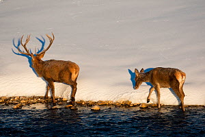 Two Red deer (Cervus elaphus) walking along edge of stream. Central Apennines, Abruzzo, Italy, February.  -  Bruno D'Amicis
