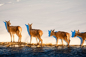 Red deer (Cervus elaphus) group walking along edge of stream. Central Apennines, Abruzzo, Italy, February.  -  Bruno D'Amicis