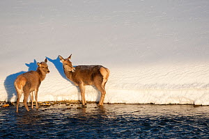 Two Red deer (Cervus elaphus) standing at edge of stream. Central Apennines, Abruzzo, Italy, February.  -  Bruno D'Amicis