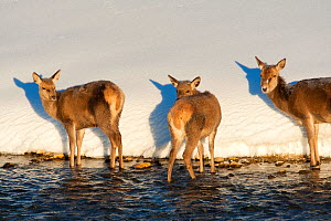 Red deer (Cervus elaphus) group standing at edge of stream. Central Apennines, Abruzzo, Italy, February.  -  Bruno D'Amicis
