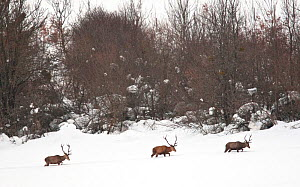 Red deer (Cervus elaphus) stags walking in deep snow. Central Apennines, Abruzzo, Italy, February.  -  Bruno D'Amicis