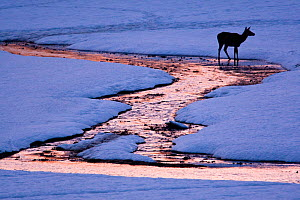 Red deer (Cervus elaphus) hind crossing small stream at sunset. Central Apennines, Abruzzo, Italy, February.  -  Bruno D'Amicis