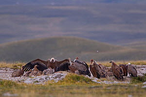 Griffon vultures (Gyps fulvus) feeding on carcass on mountain plateau. Central Apennines, Abruzzo, Italy, September.  -  Bruno D'Amicis