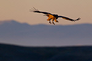 Griffon vulture (Gyps fulvus) gliding at sunrise. Central Apennines, Abruzzo, Italy, September.  -  Bruno D'Amicis