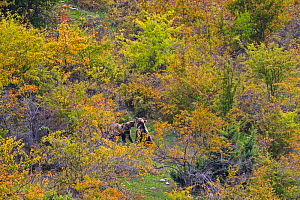 Apennine / Marsican brown bears (Ursus arctos marsicanus) playing in autumn foliage with dogrose (Rosa canina) bushes. Critically endangered subspecies. Central Apennines, Abruzzo, Italy, September.  -  Bruno D'Amicis