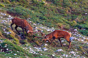 Red deer (Cervus elaphus) stags fighting during the rut. Central Apennines, Abruzzo, Italy, October.  -  Bruno D'Amicis
