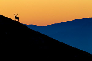 Silhouette of Red deer (Cervus elaphus) stag on mountain slope at sunrise. Abruzzo, Central Apennines, Italy, October.  -  Bruno D'Amicis