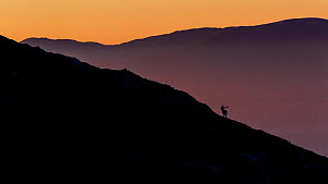 Silhouette of Red deer (Cervus elaphus) stag bellowing during the rut. Central Apennines, Abruzzo, Italy, October.  -  Bruno D'Amicis