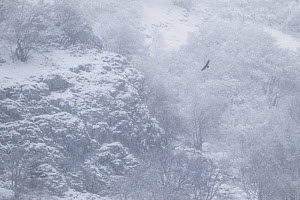 Golden eagle (Aquila chrysaetos) hunting along mountain cliff in the snow. Central Apennines, Abruzzo, Italy. December.  -  Bruno D'Amicis