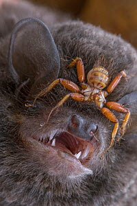 Ectoparasitic fly (Penicillidia sp.) on the head of a Long-fingered bat (Miniopterus mossambicus) Mozambique. - Naskrecki & Guyton