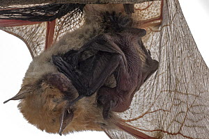 Rufous mouse-eared bat (Myotis bocagii) roosting upside down with baby, against white background, Mozambique. - Naskrecki & Guyton