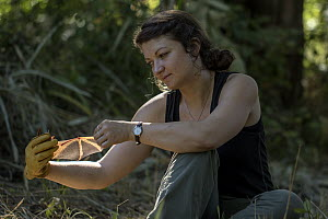 Photographer and ecologist Jen Guyton holding a Welwitsch's bat (Myotis welwitschii) showing the wing, Mozambique. May 2015. Model released. - Naskrecki & Guyton