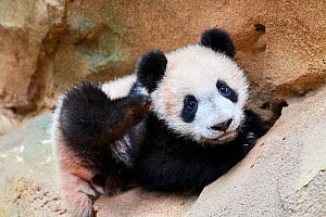 Giant panda (Ailuropoda melanoleuca) playful cub. Yuan Meng, first Giant panda ever born in France,  now aged 8 months, Beauval Zoo, France - Eric Baccega