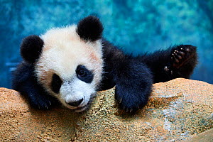 Playful giant Panda cub (Ailuropoda melanoleuca) investigating its enclosure, climbing over a rock.Yuan Meng, first Giant panda ever born in France, now aged 8 months, Beauval Zoo, France - Eric Baccega
