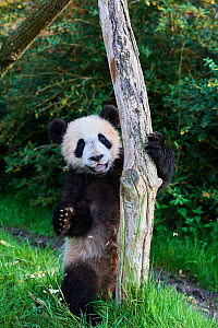 Giant Panda cub (Ailuropoda melanoleuca) climbing.Yuan Meng, first Giant panda even born in France, is now aged 8 months. and likes very much to stay in trees, Beauval Zoo, France - Eric Baccega