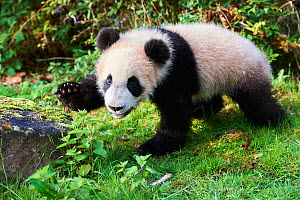 Giant panda cub (Ailuropoda melanoleuca) investigating its enclosure, captive. Yuan Meng, first Giant panda ever born in France, now aged 8 months, Beauval Zoo, France - Eric Baccega