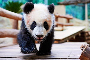 Giant panda cub (Ailuropoda melanoleuca) investigating its enclosure. Yuan Meng, first Giant panda ever born in France, now aged 8 months, Beauval Zoo, France - Eric Baccega