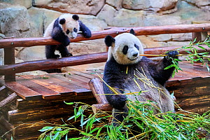 Giant panda (Ailuropoda melanoleuca) female Huan Huan feeding on bamboo with her playful cub in the background Yuan Meng, first Giant panda even born in France, now aged 8 months, Beauval Zoo, France - Eric Baccega