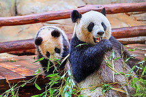 Giant panda (Ailuropoda melanoleuca) female, Huan Huan, feeding on bamboo with her cub Yuan Meng, playing with bamboo. The cub is the first Giant panda even born in France, now aged 8 months, Beauval... - Eric Baccega