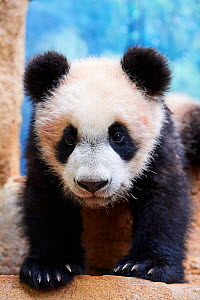 Portrait of Giant panda cub (Ailuropoda melanoleuca) captive. Yuan Meng, first Giant panda ever born in France,  now aged 8 months, Beauval Zoo, France - Eric Baccega