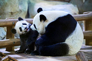 Giant panda female Huan Huan playing with her cub (Ailuropoda melanoleuca). Yuan Meng, first Giant panda ever born in France, now aged 8 months, Beauval Zoo, France - Eric Baccega