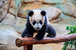 Giant panda cub (Ailuropoda melanoleuca) investigating its enclosure. Yuan Meng, first Giant panda ever born in France, now aged 8 months, Beauval Zoo, France, April. - Eric Baccega