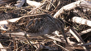 Snipe (Gallinago gallinago) feeding, catches worm and washes it in water, Greylake RSPB Reserve, Somerset Levels, England, UK, February. - John Waters
