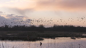 Wide-angle shot of wetland landscape at sunset, with Lapwings (Vanellus vanellus) flying to roost, Ham Wall RSPB Reserve, Somerset Levels, England, UK, February. - John Waters