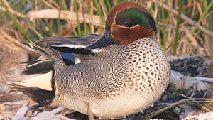 Close-up of a male Teal (Anas crecca) preening, Greylake RSPB Reserve, Somerset Levels, England, UK, February. - John Waters