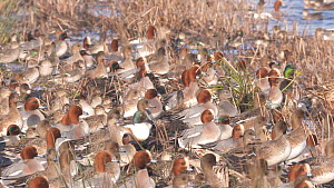 Slow motion clip of a mixed flock of Teal (Anas crecca) and Wigeon (Anas penelope) landing in a lake, Greylake RSPB Reserve, Somerset Levels, England, UK, February. - John Waters