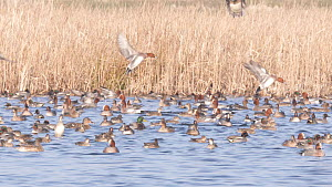 Slow motion clip of Wigeon (Anas penelope) landing amongst mixed flock of Teal (Anas crecca) and Shovler (Anas clypeata), Greylake RSPB Reserve, Somerset Levels, England, UK, February. - John Waters