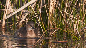 Slow motion clip of a Little grebe (Tachybaptus ruficollis) in winter plumage swimming beside vegetation, Greylake RSPB Reserve, Somerset Levels, England, UK, February.  -  John Waters