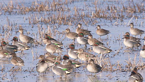 Slow motion clip of a flock of Teal (Anas crecca) walking on ice, Greylake RSPB Reserve, Somerset Levels, England, UK, February. - John Waters