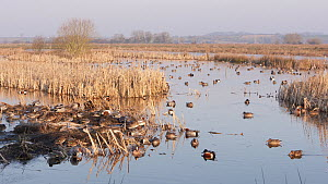 Wide-angle shot of wetland landscape, with Wigeon  (Anas penelope), Shoveler (Anas clypeata) and Teal (Anas crecca), Greylake RSPB Reserve, Somerset Levels, England, UK, February. - John Waters