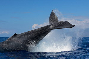 Humpback whale (Megaptera novaeangliae) tail-throwing behaviour, West Maui, Hawaii, USA.  -  Doug Perrine