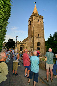 People watching Swifts (Apus apus) flying around Holy Trinity church during a swift walk organised by the local swift group, Bradford-on-Avon, Wiltshire, UK, June. Digital composite. Model released.  -  Nick Upton