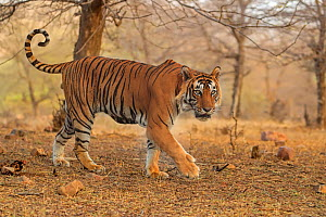 RF- Bengal tiger (Panthera tigris) male on patrol, Ranthambhore, India, Endangered species. (This image may be licensed either as rights managed or royalty free.)  -  Andy Rouse