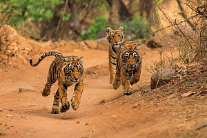 Three Bengal tiger (Panthera tigris) cubs running after their mother,  Ranthambhore, India, Endangered species.  -  Andy Rouse