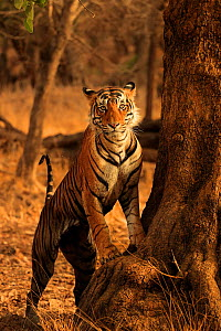 Bengal tiger (Panthera tigris) male 'T91 - Cowboy' at base of tree, Ranthambhore, India, Endangered species. - Andy Rouse