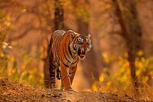 Bengal tiger (Panthera tigris) female 'Arrow-head' snarling, Ranthambhore, India, Endangered species. - Andy Rouse