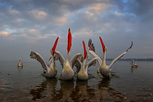 Dalmatian pelican (Pelecanus crispus) group with wings spread and beaks pointing to the sky, in breeding plumage, Lake Kerkini, Greece, February.  -  Andy Rouse