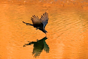 Black drongo (Dicrurus macrocercus) flying low over water to drink, Ranthambhore, India.  -  Andy Rouse