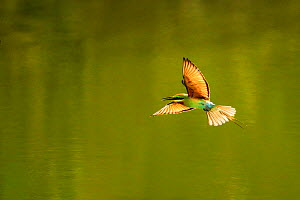 Green bee-eater (Merops orientalis) flying, Ranthambhore, India.  -  Andy Rouse