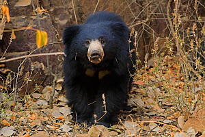 Sloth bear (Melursus ursinus) in forest, Ranthambhore, India, Vulnerable species. - Andy Rouse