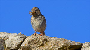 Showreel of Rock sparrows (Petronia petronia) feeding chicks at nest, with chicks fledging, Cuenca, Castile-La Mancha, Spain, June. Material by David Perpinan.  -  NaturePL Showreels