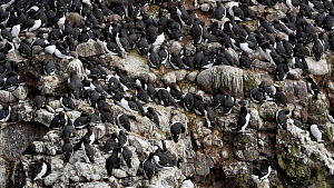 Showreel of a mixed colony of Common guillemots (Uria aalge), Razorbills (Alca torda) and Kittiwakes (Rissa tridactyla) nesting on a sea cliff, Fowlsheugh RSPB Reserve, Aberdeenshire, Scotland, UK, Ma... - NaturePL Showreels