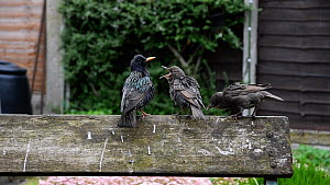 Showreel of Common starlings (Sturnus vulgaris) feeding fledged chicks in garden, Greater Manchester, England, UK, May. Material by Terry Whittaker.  -  NaturePL Showreels
