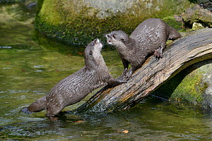 Two Asian short-clawed otters (Aonyx cinerea) play-fighting, captive at Cornish Seal Sanctuary, Cornwall, UK, April.  -  Nick Upton