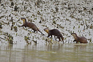 Small-clawed otters (Aonyx cinerea) three on riverbank, Sundarbans East Wildlife Sanctuary, Bangladesh  -  Dr. Gertrud Neumann-Denzau